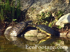 Turtles climbing out of pond onto sunny rock.